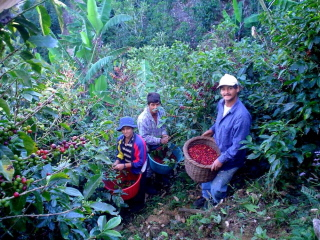 costa rica honey coffee candelilla