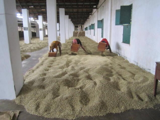 india monsooned arabica malabar monsooning process